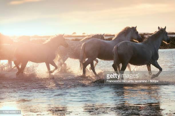 wild white horses of camargue running on water at sunset france - francesco riccardo iacomino france foto e immagini stock
