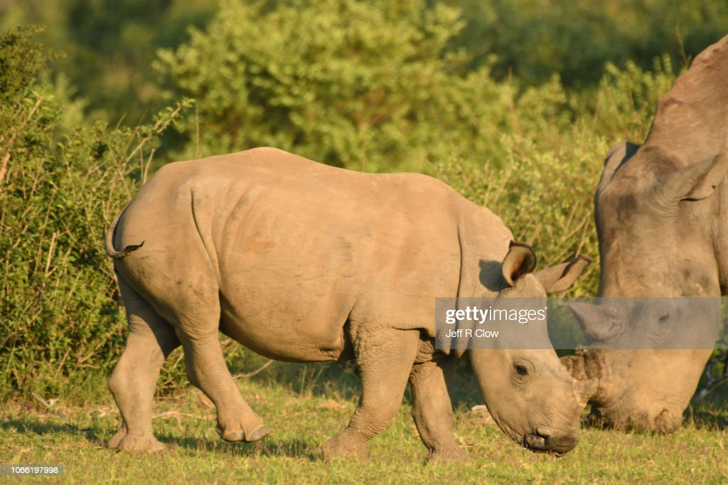 Wild White Rhino Family In South Africa High-Res Stock