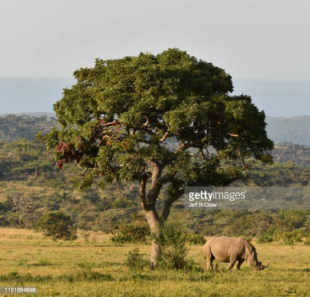 wild white rhino in south africa on safari - south africa stock pictures, royalty-free photos & images