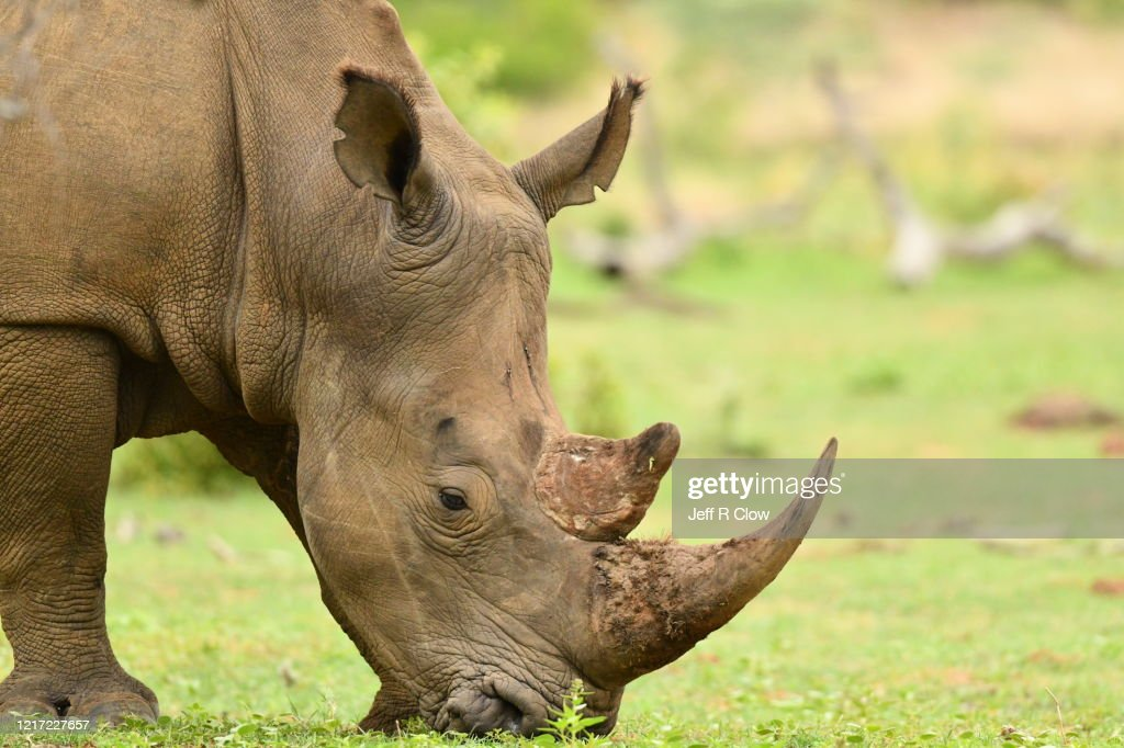 Wild White Rhino In South Africa High-Res Stock Photo