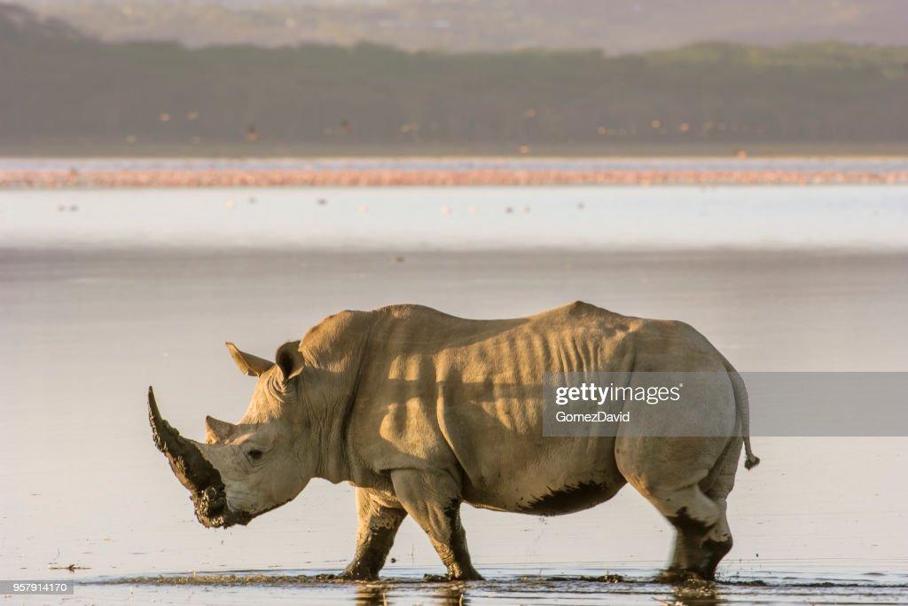 Rinoceronte blanco salvajes caminando por la orilla del lago Nakuru : Foto de stock