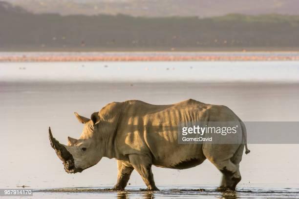 wild white rhino walking on shore of lake nakuru - lake nakuru stock photos and pictures