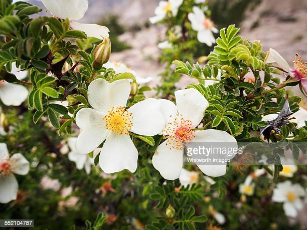 Wild white rose flower in Upper Mustang