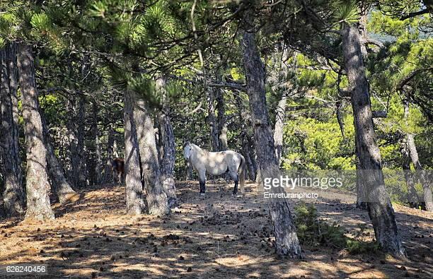 a wild white stallion on mount spil. - emreturanphoto stock pictures, royalty-free photos & images