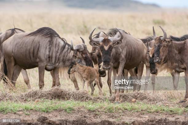 Wild Wildebeest Gathered Around a New Born Baby