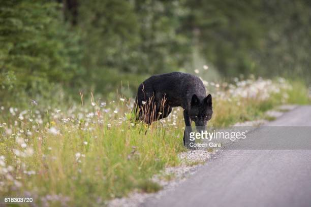 wild wolf in the canadian rockies - black wolf stock pictures, royalty-free photos & images