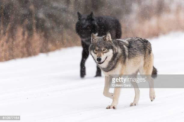wild wolves, canis lupus, in the canadian rockies - black wolf stock pictures, royalty-free photos & images