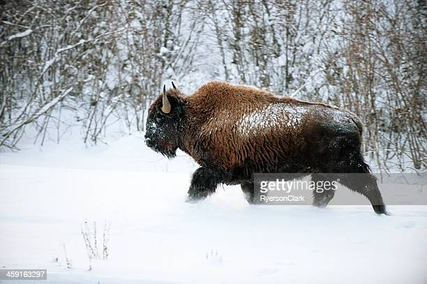 wild woodland bison in snow. - buffalo stock pictures, royalty-free photos & images