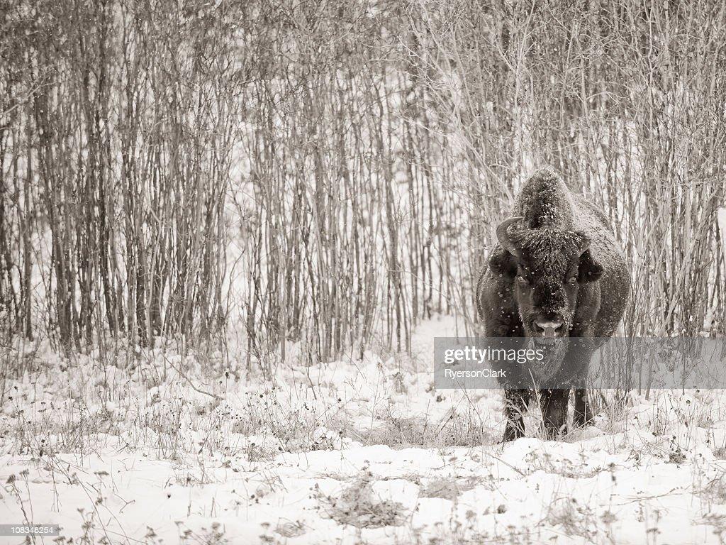 Wild Woodland Bison, Yellowknife Northwest Territories. : Stock Photo