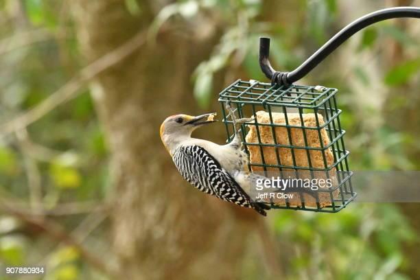 Wild woodpecker Feeding at a Feeder