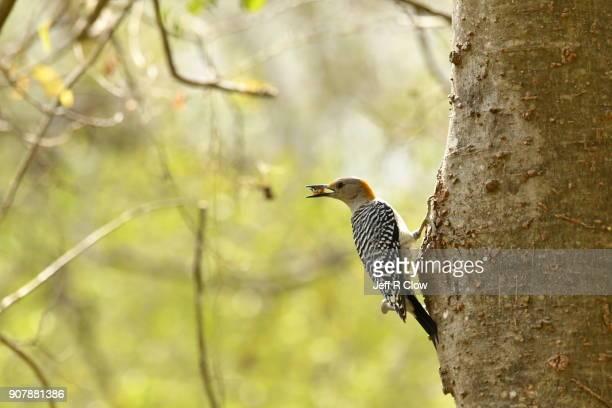 Wild woodpecker Feeding at a Tree