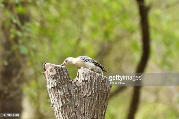 Wild woodpecker Feeding
