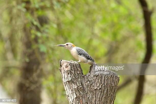 Wild woodpecker Feeding Too