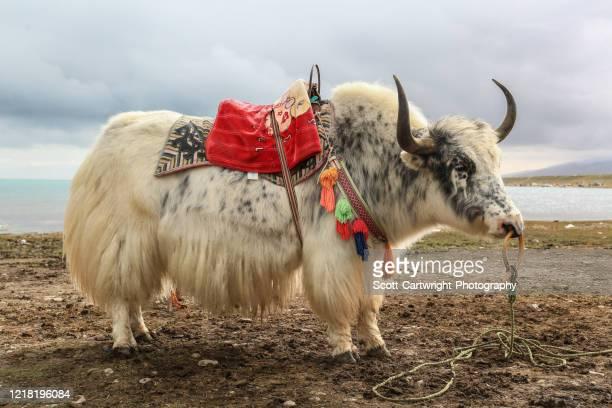 wild yak - oxen - fotografias e filmes do acervo