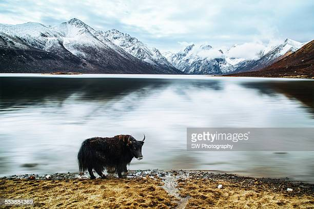 a wild yak standing by the lake - qinghai province stock photos and pictures