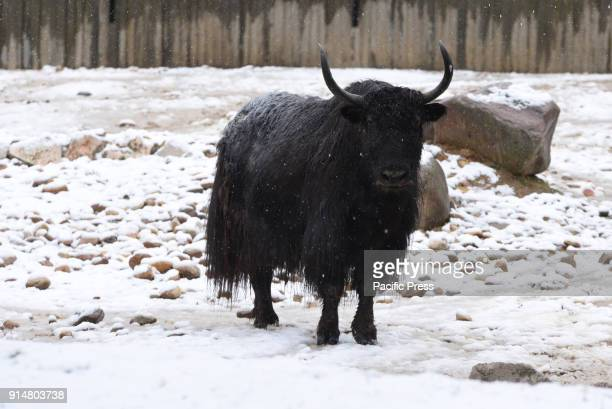 A wild yak stands in the snow at Madrid zoo