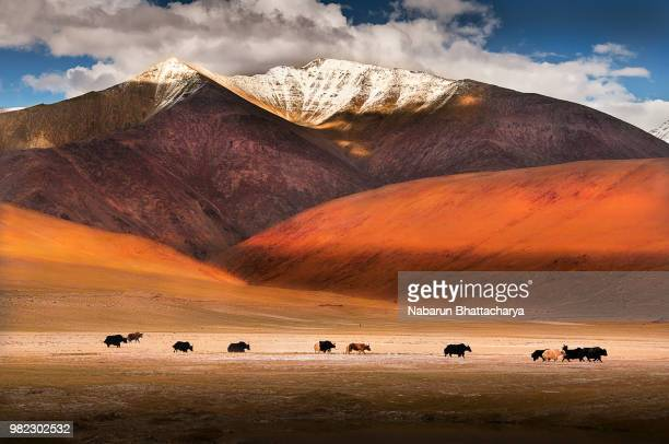 wild yaks in ladakh, india. - yak stock pictures, royalty-free photos & images