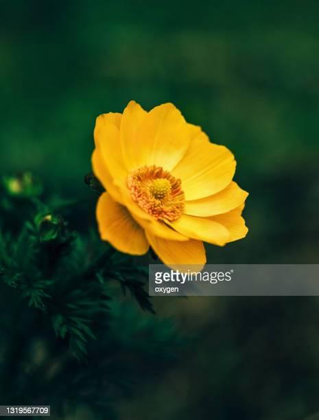 wild yellow adonis (adonis vernalis) flower macro close up, bokeh dark green background - armistice stock pictures, royalty-free photos & images