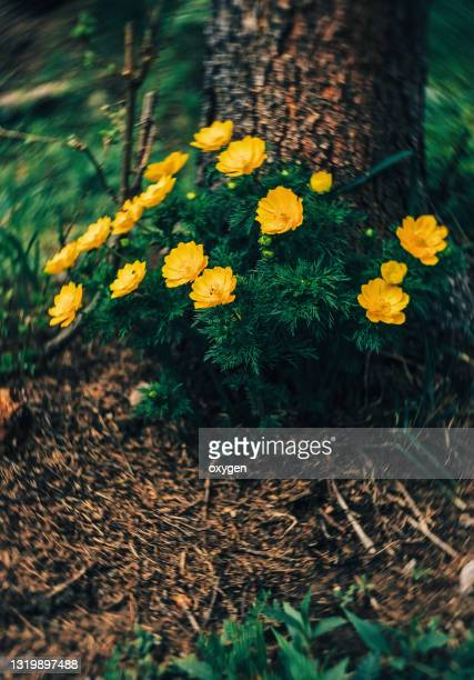 wild yellow adonis (adonis vernalis) flower of the spring forest, bokeh dark green background - armistice stock pictures, royalty-free photos & images