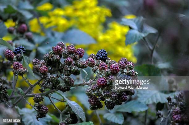 wild yellow flower & black berries - イラクサ ストックフォトと画像