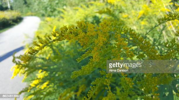 wild yellow flower - alma danison stock photos and pictures