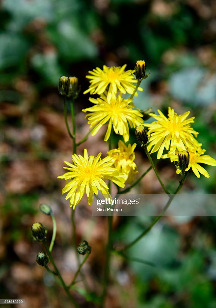 Wild yellow flowers of the family asteraceae stock photo getty images wild yellow flowers of the family asteraceae stock photo mightylinksfo