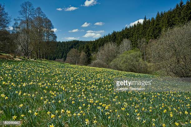 wild yellow Narcissus, Eifel