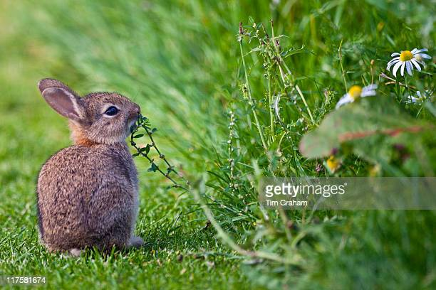 Wild young rabbit sniffing wildflower in country garden The Cotswolds Oxfordshire United Kingdom