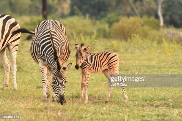 Wild Zebra and it's newborn Foal