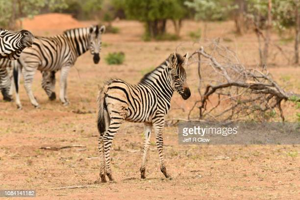 wild zebras in south africa on photo safari - animated zebra stock pictures, royalty-free photos & images