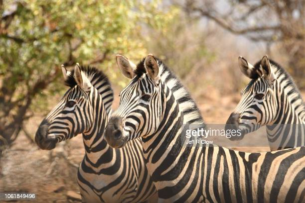 wild zebras on full alert - animated zebra stock pictures, royalty-free photos & images