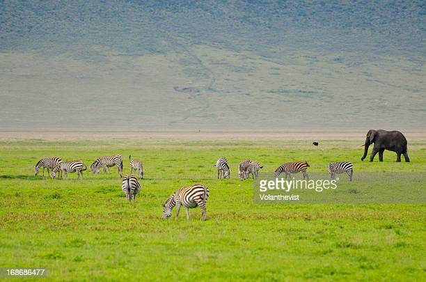 Wild zebras