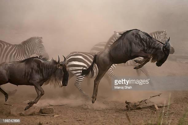 wildebbest and Zebra running