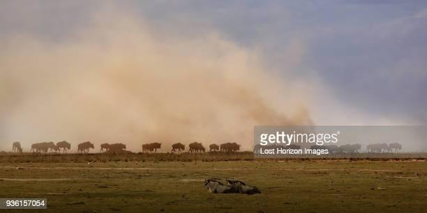 wildebeest, amboseli national park, amboseli, rift valley, kenya - amboseli stock photos and pictures