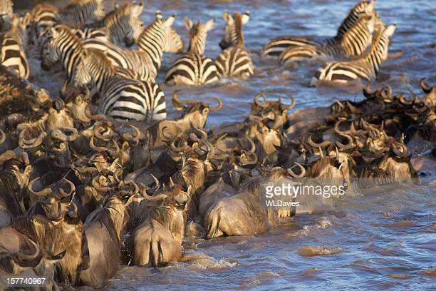 Wildebeest and zebra river crossing