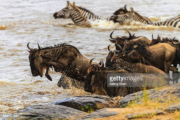Wildebeest and Zebras jumping