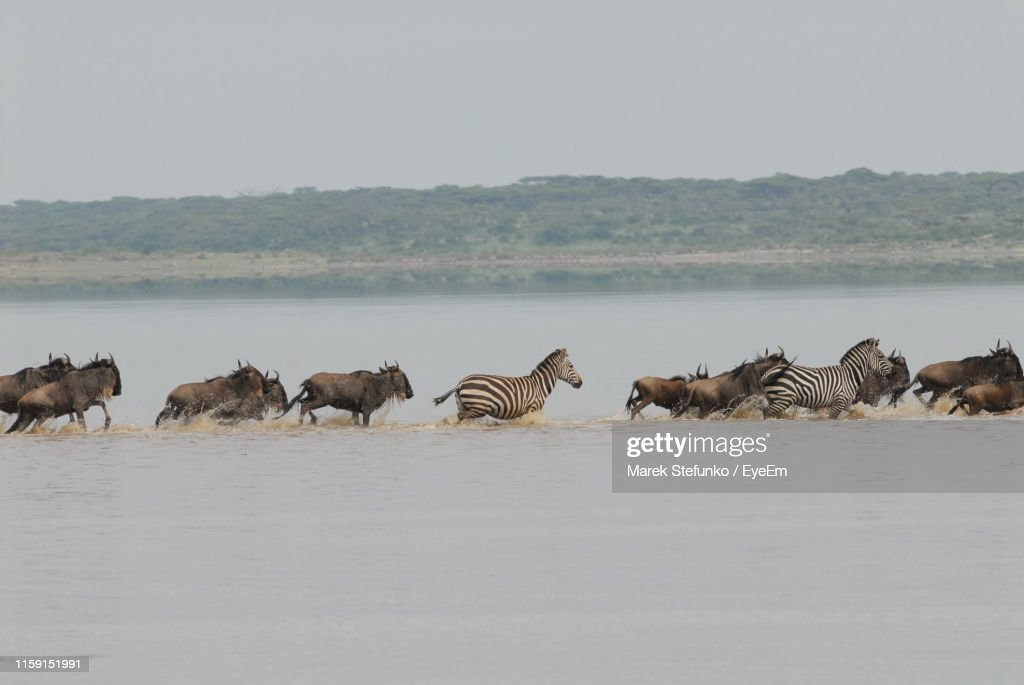 Wildebeest And Zebras Running In River : Stock Photo