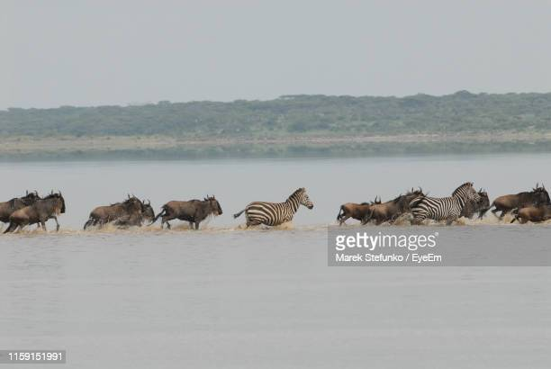 wildebeest and zebras running in river - marek stefunko stock photos and pictures