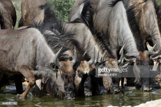 Wildebeest at the water hole