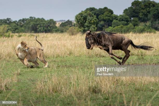 Wildebeest Charging at Hunting Lioness, Masai Mara Game Reserve, Kenya