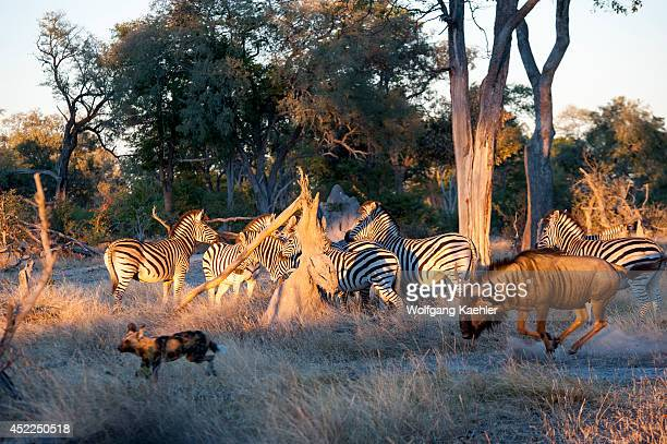 Wildebeest chasing African wild dogs and finding protection amongst Burchell's zebras at the Linyanti Reserve near the Savuti Channel in northern...