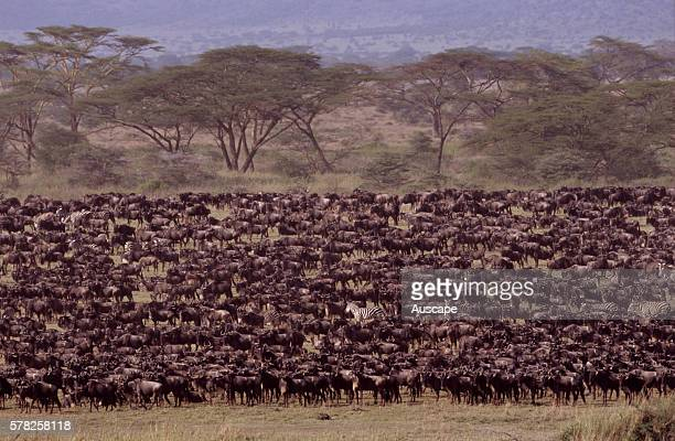 Wildebeest Connochaetes taurinus massing on plain during migration Serengeti National Park Tanzania East Africa