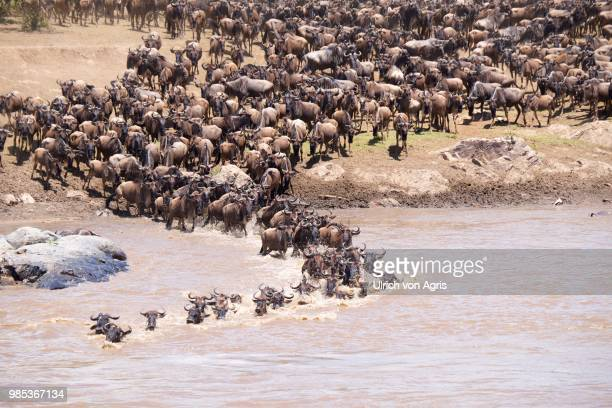 wildebeest crossing a river in serengeti national park, tanzania. - animal migration stock pictures, royalty-free photos & images