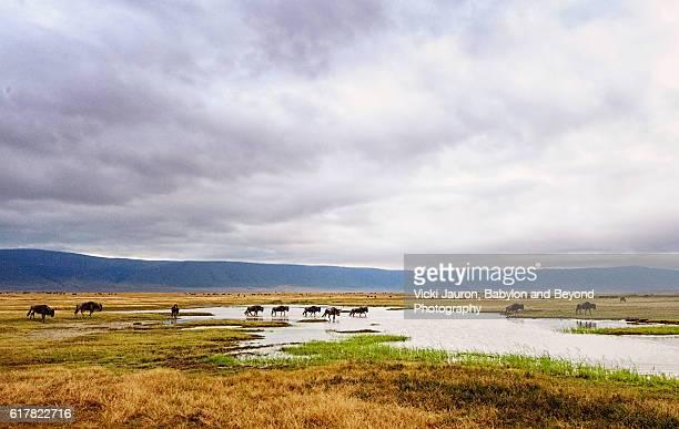 Wildebeest Crossing at Ngorongoro, Tanzania