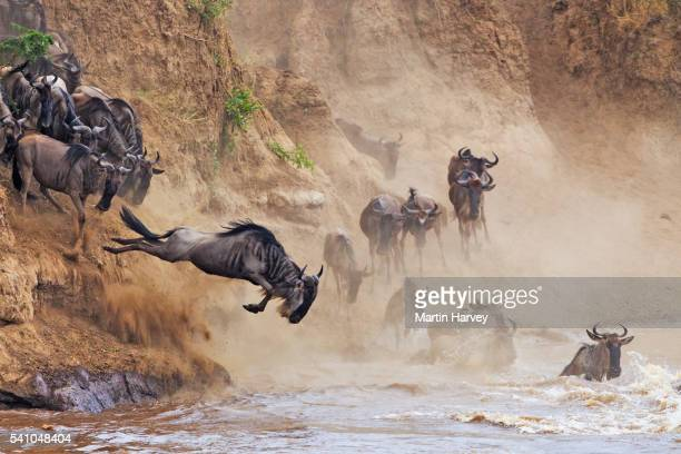 wildebeest crossing the mara river - animal migration stock pictures, royalty-free photos & images