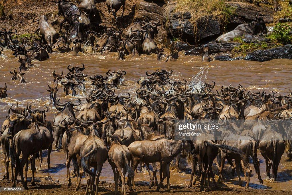 Wildebeest crossing the Mara River : Stock Photo