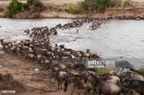 Wildebeest (Connochaetes taurinus) crossing the River Mara, Masai Mara, Kenya, East Africa, Africa