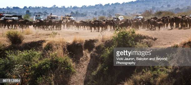 Wildebeest Gathering for Crossing the Mara River