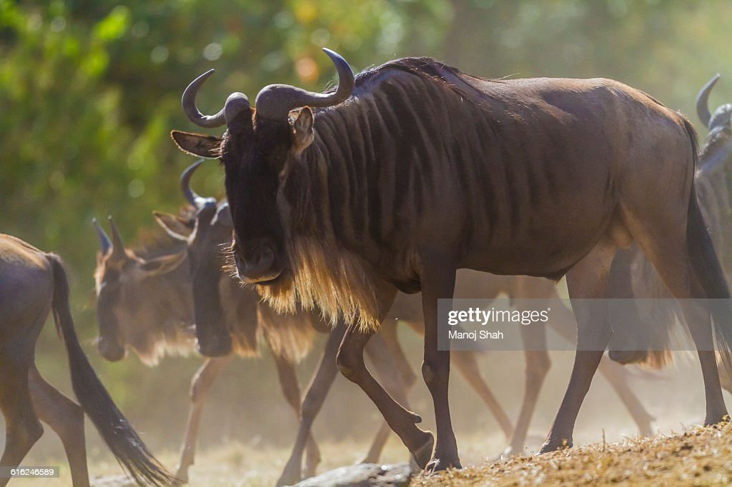 Wildebeest going to the crossing : Stock Photo