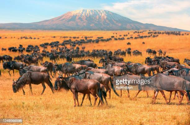 wildebeest herd at wild with mt kilimanjaro - national landmark stock pictures, royalty-free photos & images